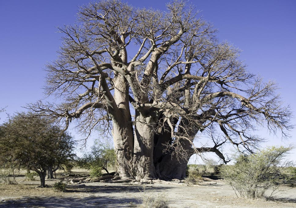 africa s oldest and most unusual trees are mysteriously dying the