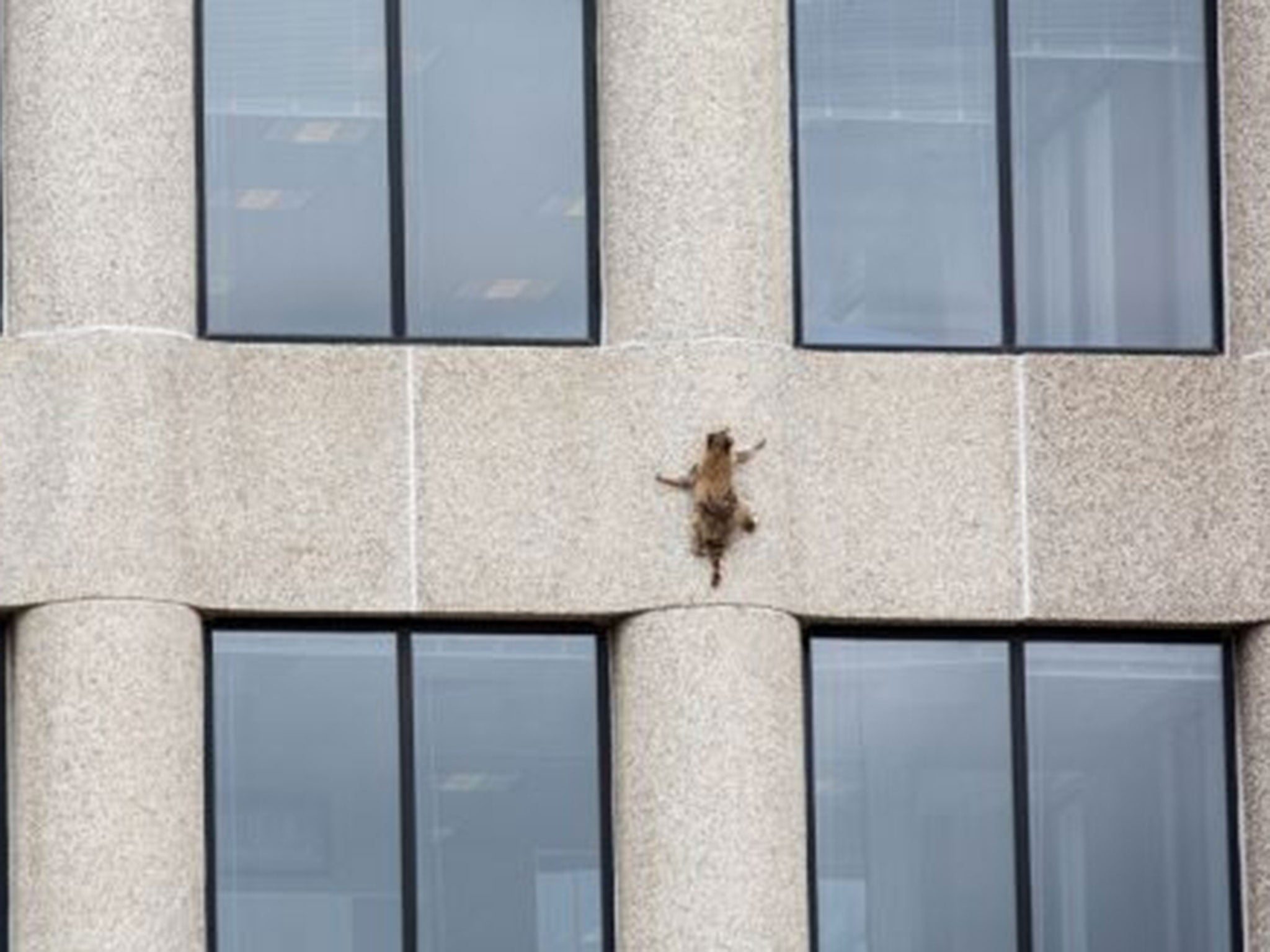 Image result for raccoon climbs office building