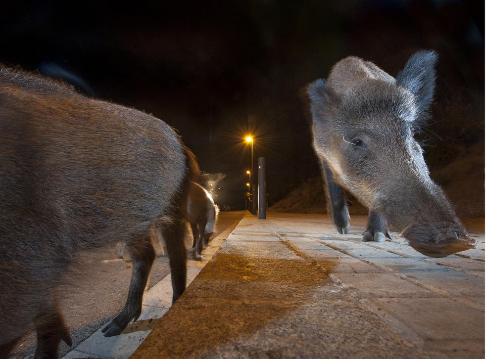 Wild boar foraging for food near bins in Barcelona: animals are increasingly being forced to emerge at night to avoid contact with humans