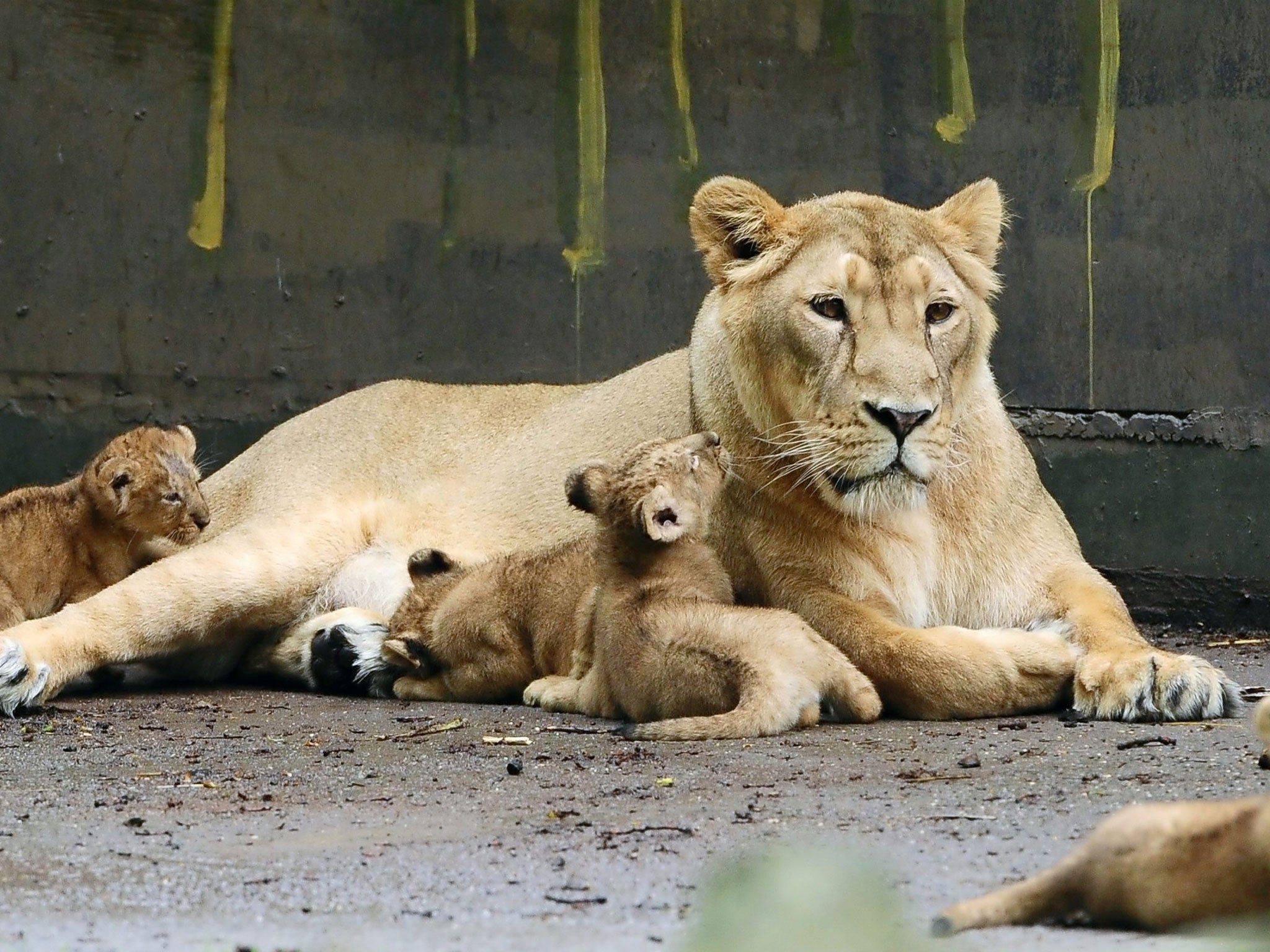 Lion killed at Belgium's Planckendael zoo after escaping from enclosure