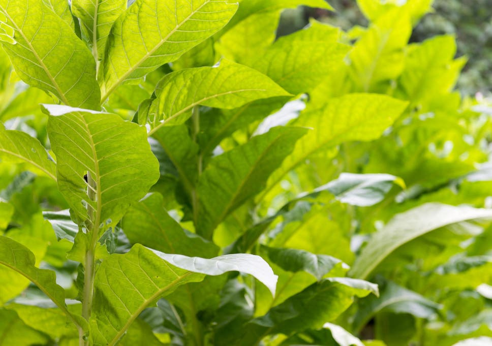 Helping plants remove natural toxins could boost crop yields