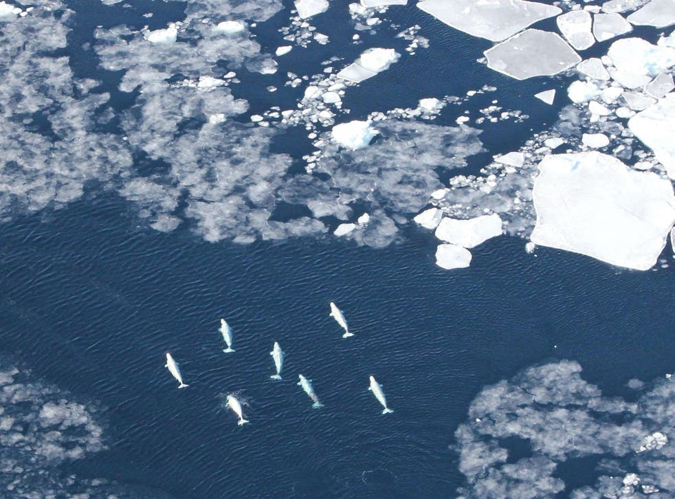 Belugas in the pack ice in West Greenland: whales such as these are particularly threatened by ships crossing the Arctic