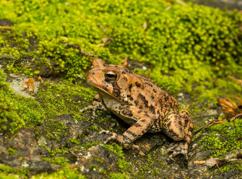 When American toads are subject to round-the-clock lighting, their growth is noticeably stunted