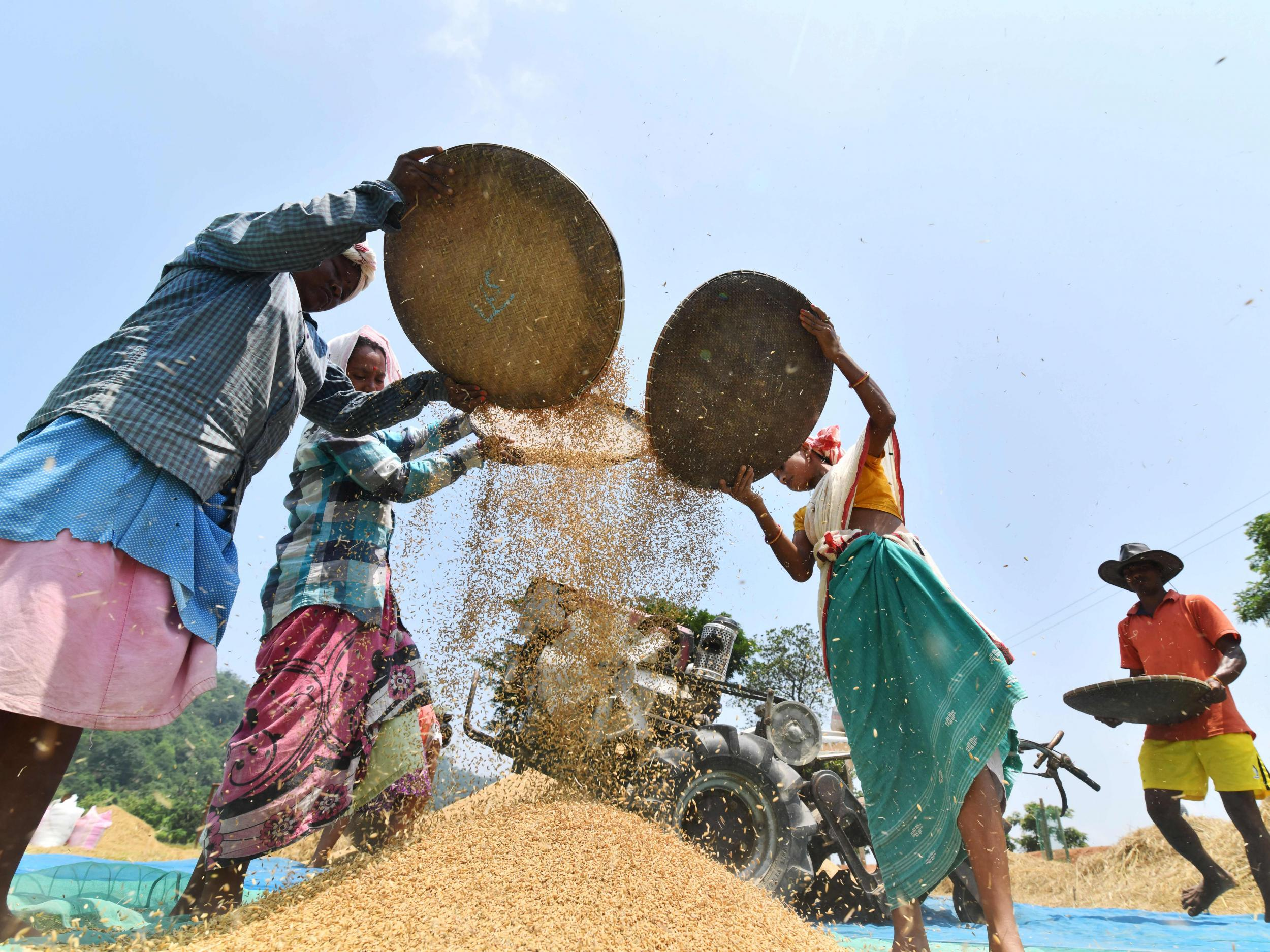 India must ditch rice to feed growing population, scientists warn