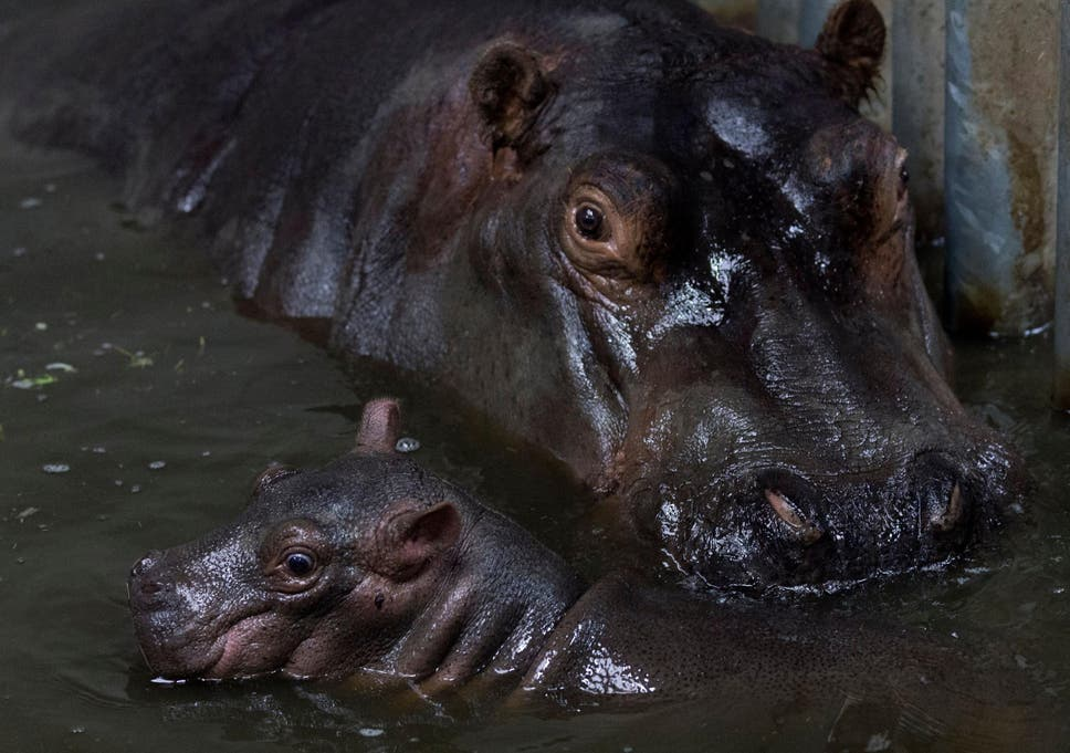 Ivory Ban Could Be Extended To Protect Hippos Walruses And Narwhals