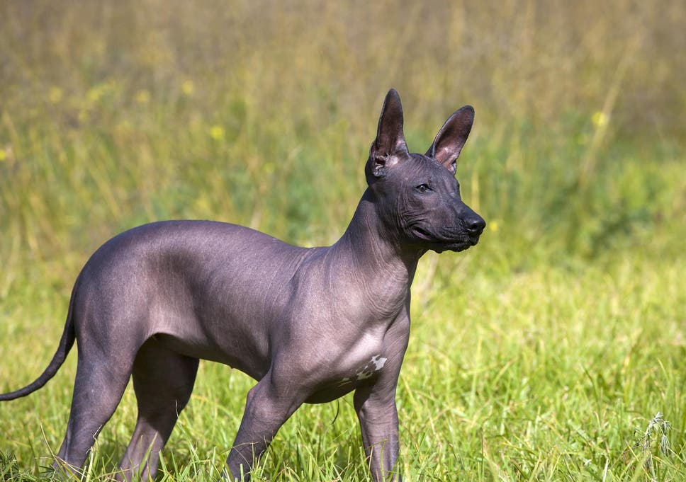 European colonisation of Americas wiped out native dogs