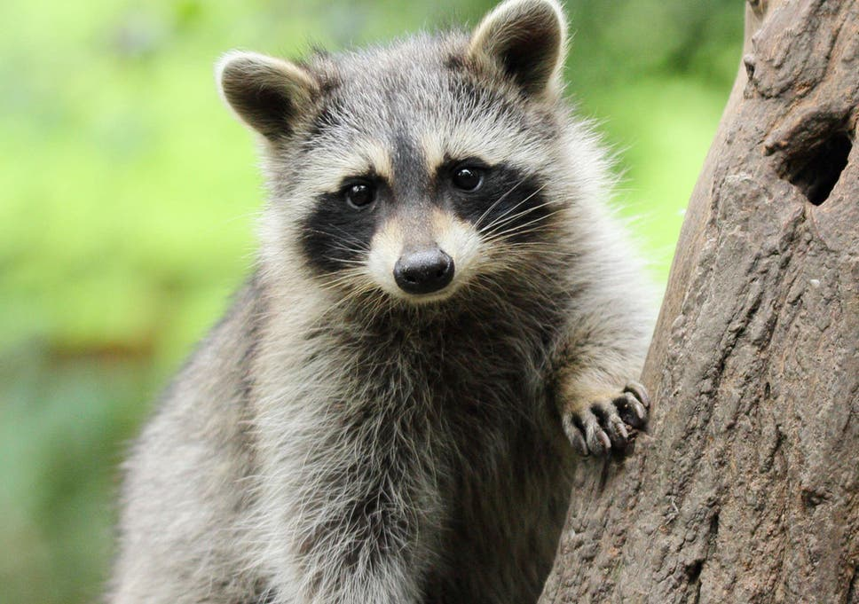 Nearly 200 'zombie' raccoons die in New York City | The