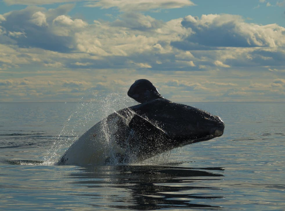 Right whales are no longer found in the Mediterranean, but new evidence suggests they once migrated there to raise their calves