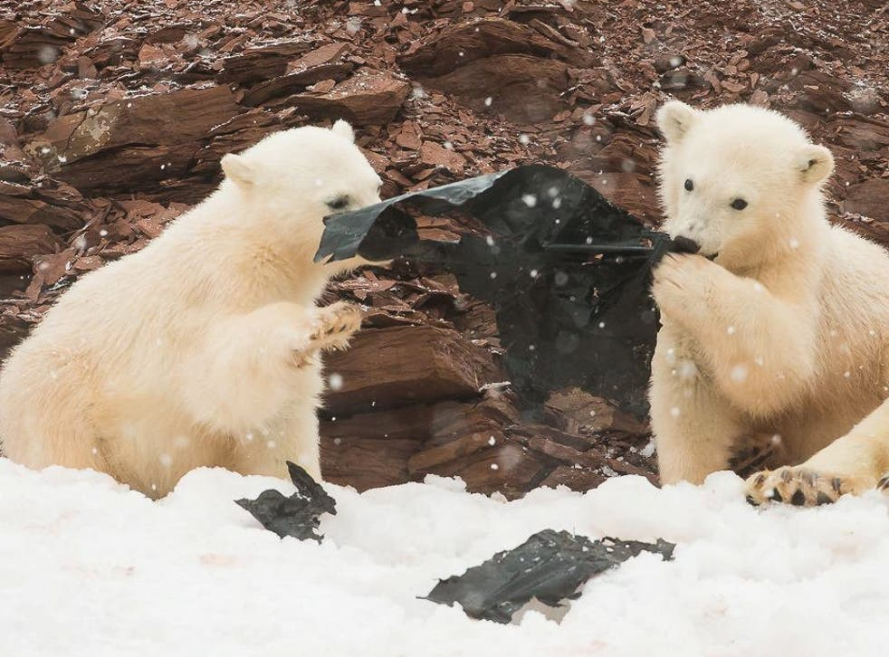 Two young polar bear cubs play with a sheet of plastic in Svalbard