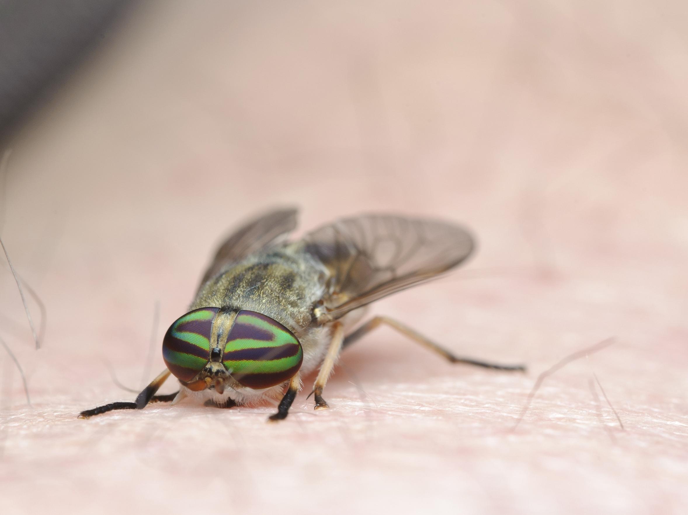 Horsefly infestation brought by UK heatwave bring risk of