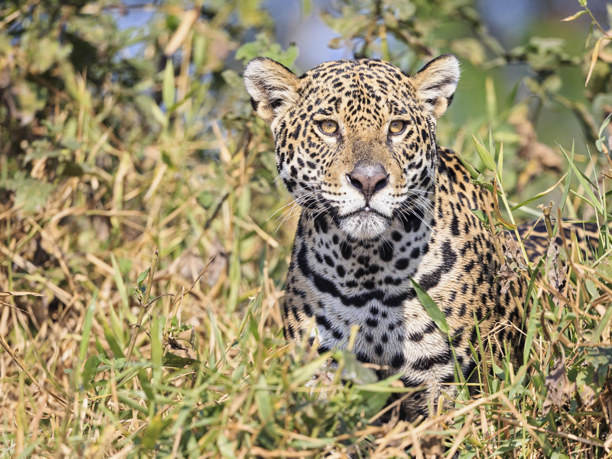Jaguar >> Jaguar Escapes Enclosure At New Orleans Zoo And Goes On Killing