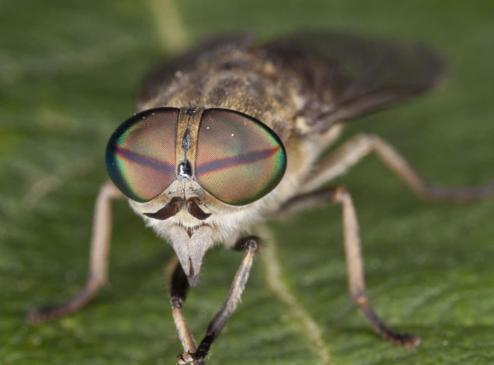 An infected-horsefly bite can cause a nasty rash, dizziness, shortage of breath, and weak and swollen limbs.