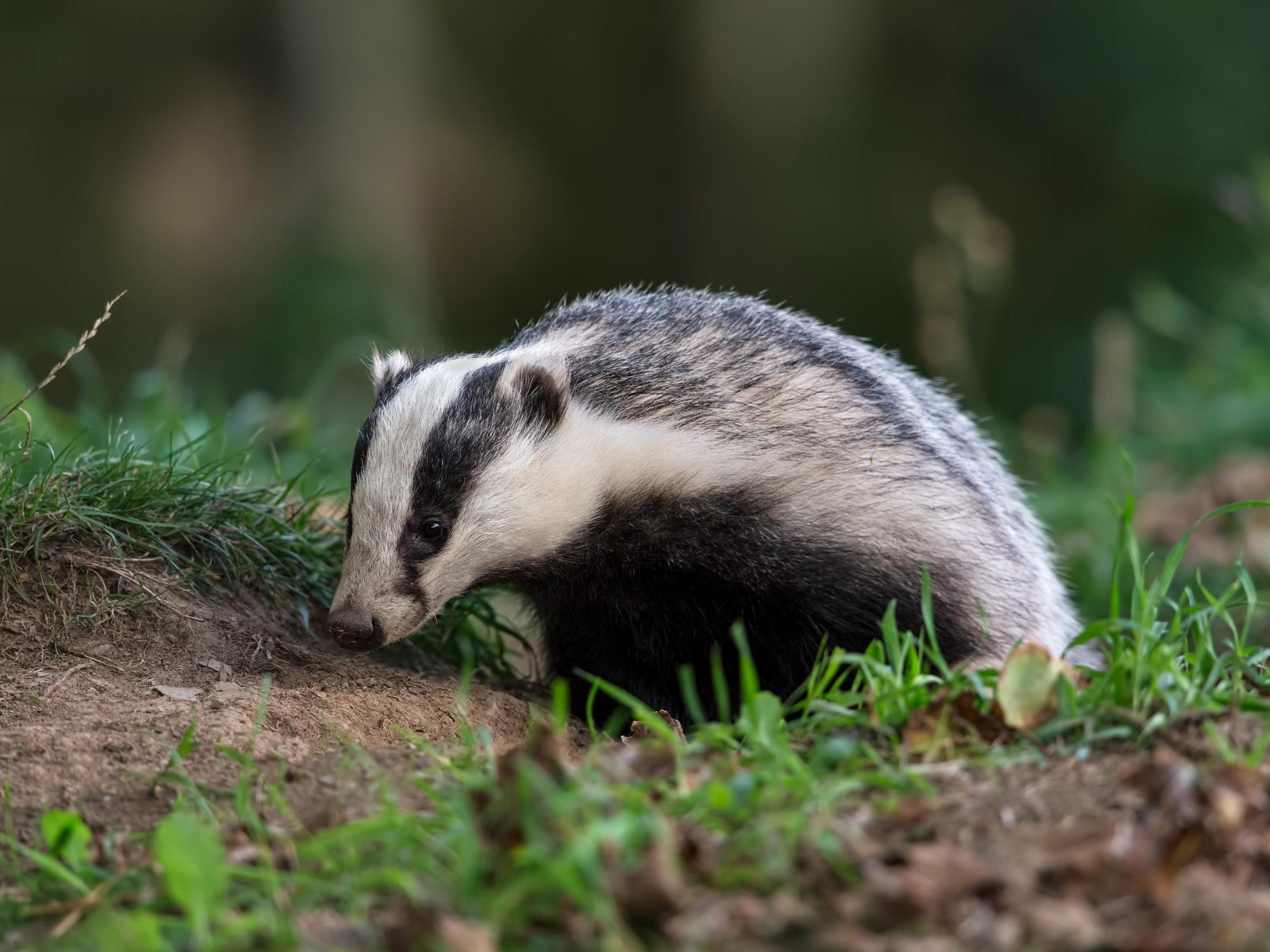 Badger Cull Operation Cost Taxpayers 76000 Per Animal The How To Build Nocturnal Animals Whisker Independent
