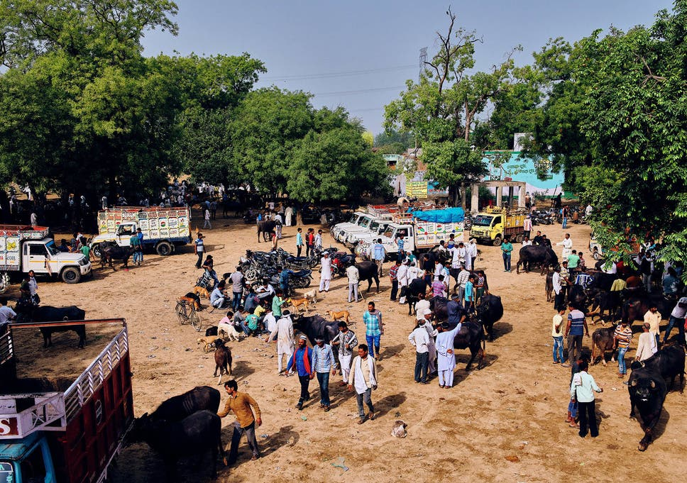 Why a crackdown on the Indian cattle trade is being ...