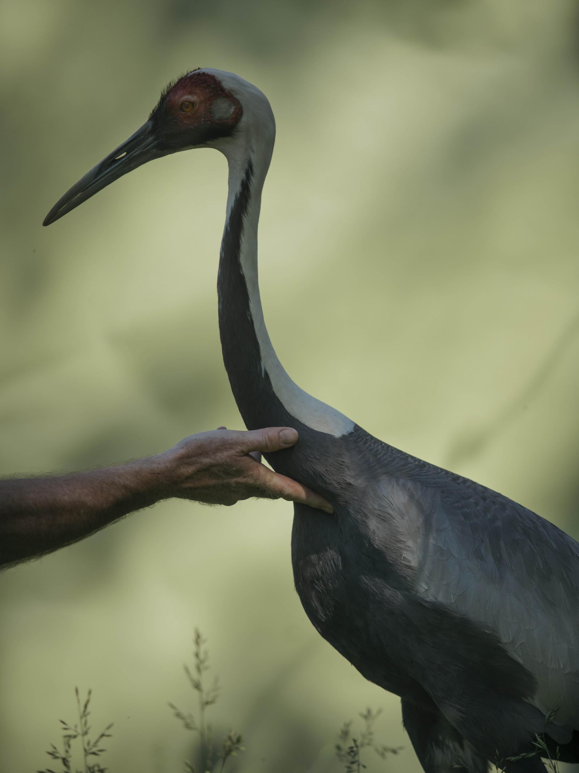 The strange story of the white-naped crane that fell in love
