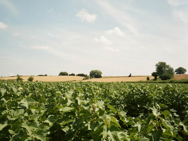 Farmers at the Snell farm blackcurrant fields worry about who will pick the fruit next year