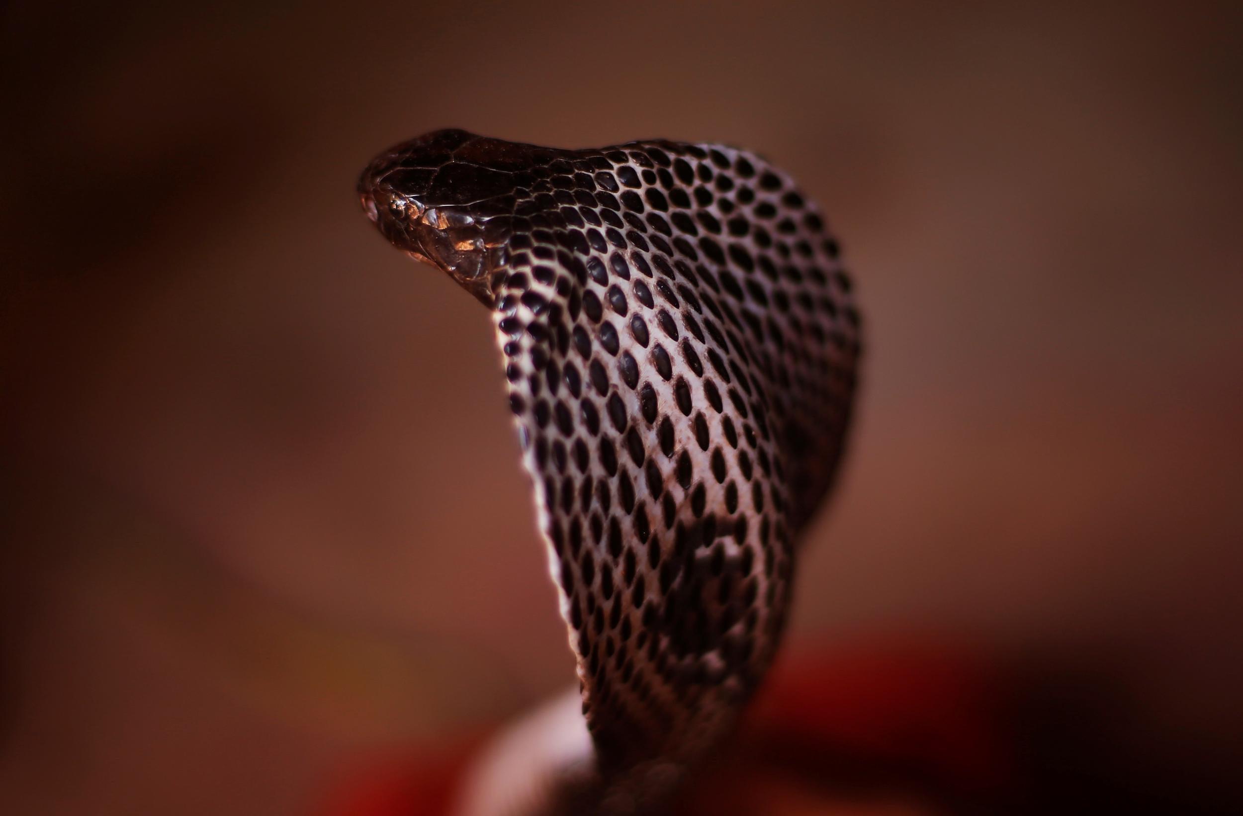 Multistate hunt for antivenom after exotic snake attacks Michigan man