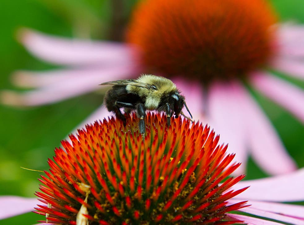Neonic pesticides have been linked to the decline in bee populations
