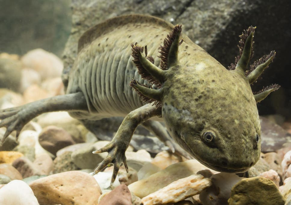 Mexican nuns breeding endangered salamanders to make them into a