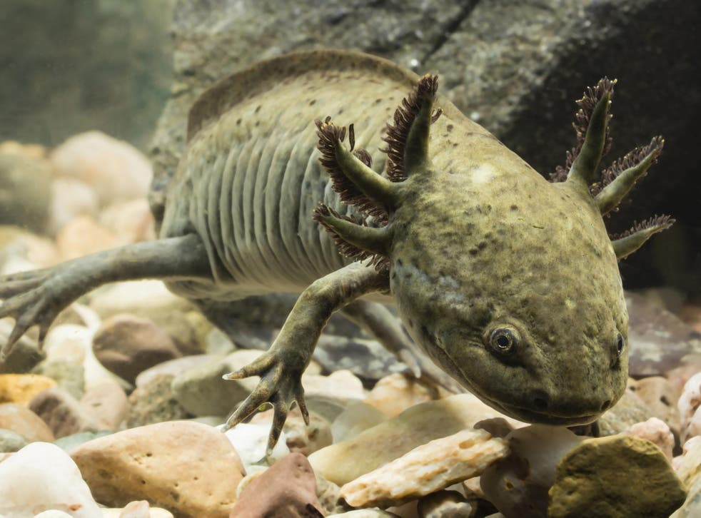 Ambystoma dumerilii, known by locals as achoques, are found nowhere but Lake Pátzcuaro but their numbers are falling fast