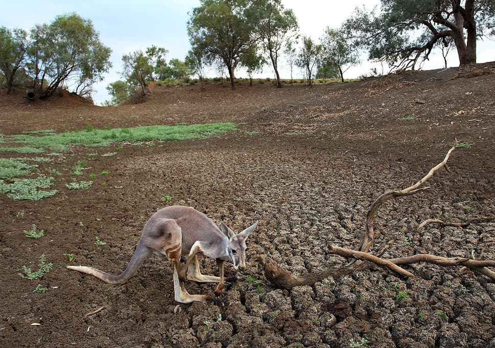 australia tells farmers they can kill more kangaroos because of