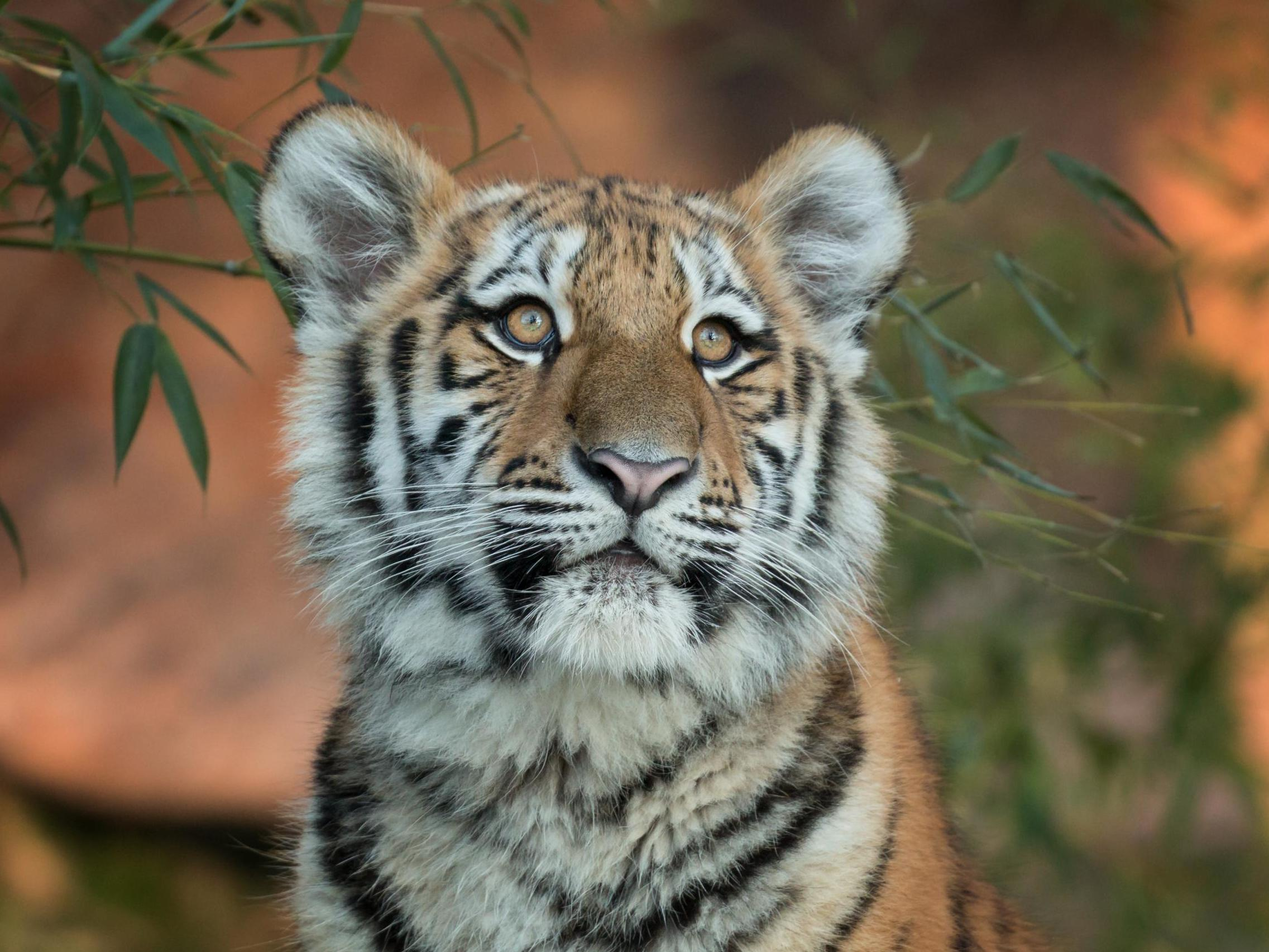 man eating tiger hunted by indian authorities using calvin klein