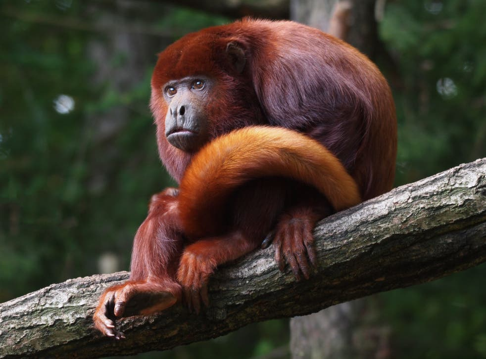 Howler monkeys' calls can be heard up to three miles away