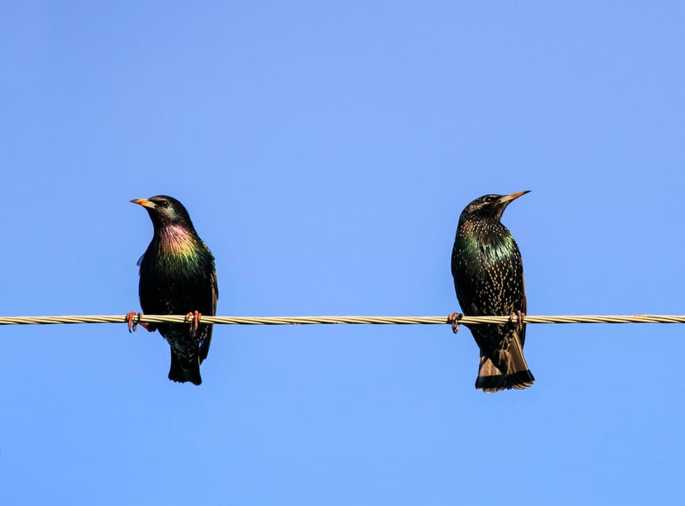 Female starlings that have consumed Prozac are 'less attractive' to males