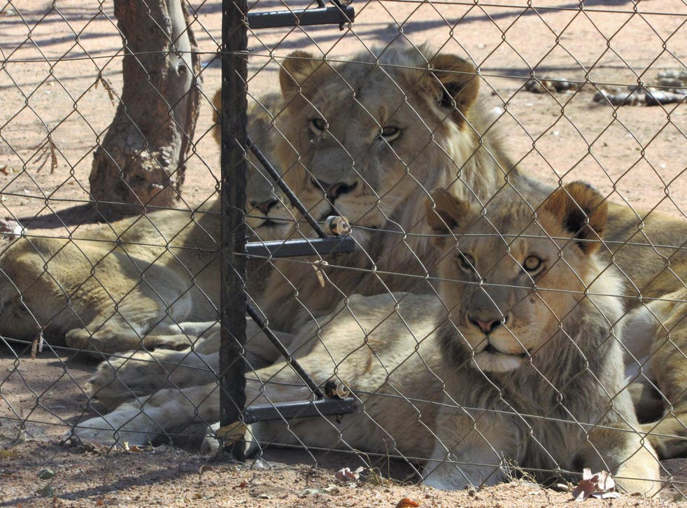 Lions and cubs are kept behind bars in 'harsh conditions', only to feed the industry that kills them