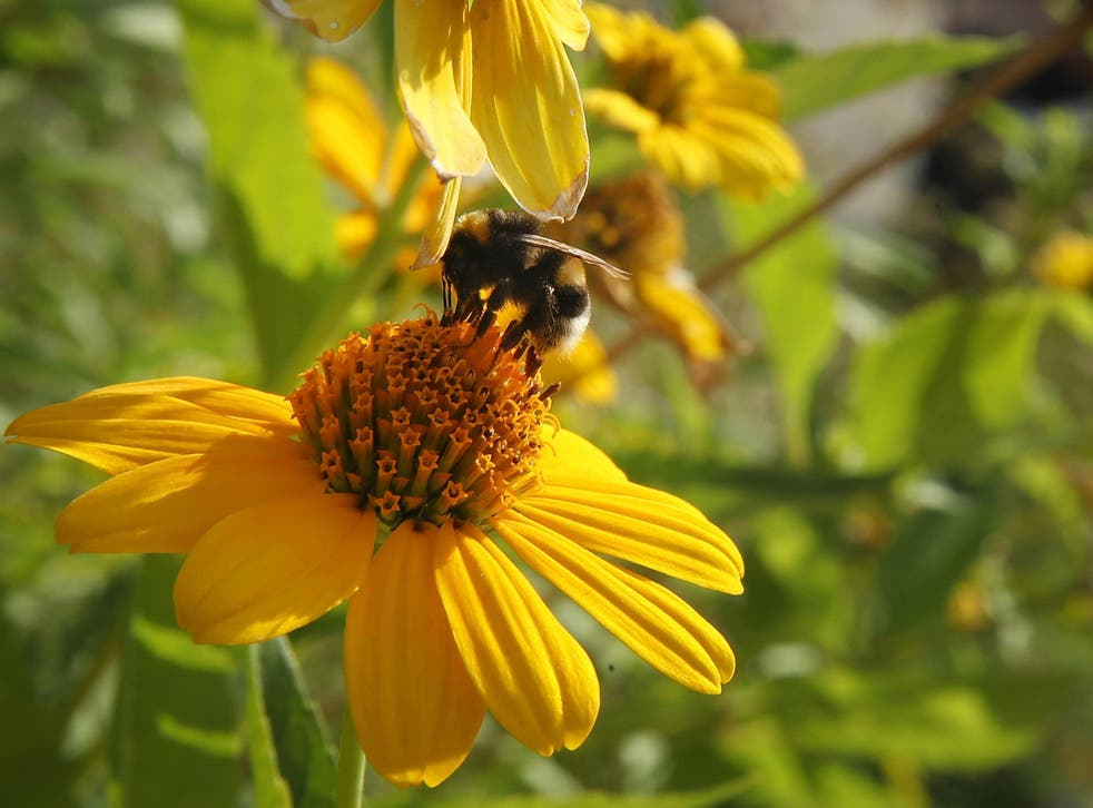 Bumblebee colonies exposed to new pesticide sulfoxaflor were smaller, with fewer offspring