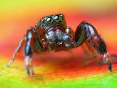 Rare jumping spider discovered in UK for first time ever