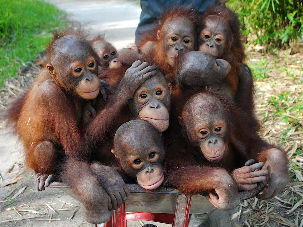 Massive wildfires threaten critically endangered orangutans in Bornean wildlife reserves