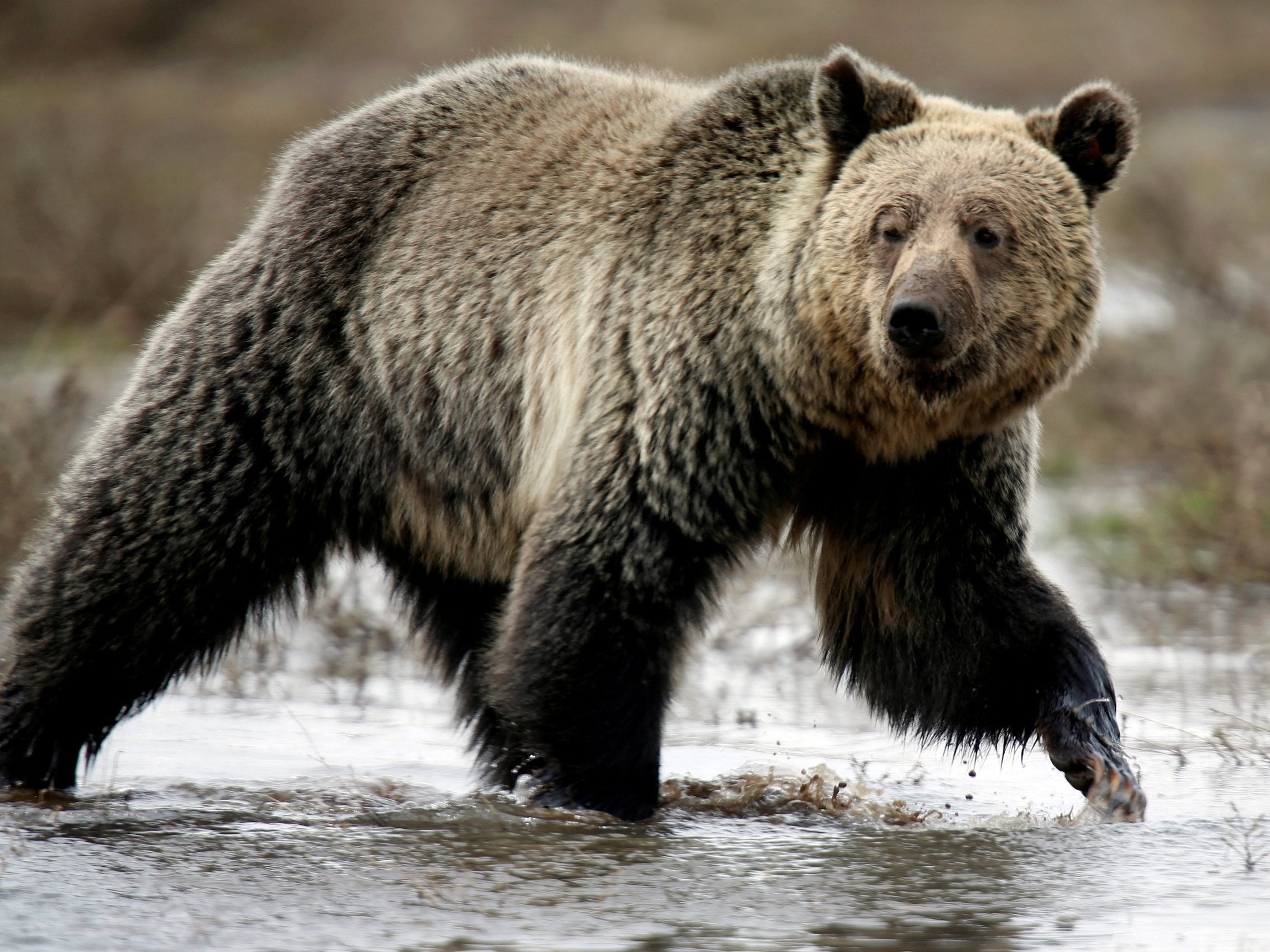 Grizzly bear - latest news, breaking stories and comment
