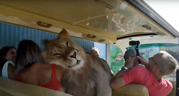 Image result for Lion Climbed Into A Bus Of People Because It Wanted To Be Petted