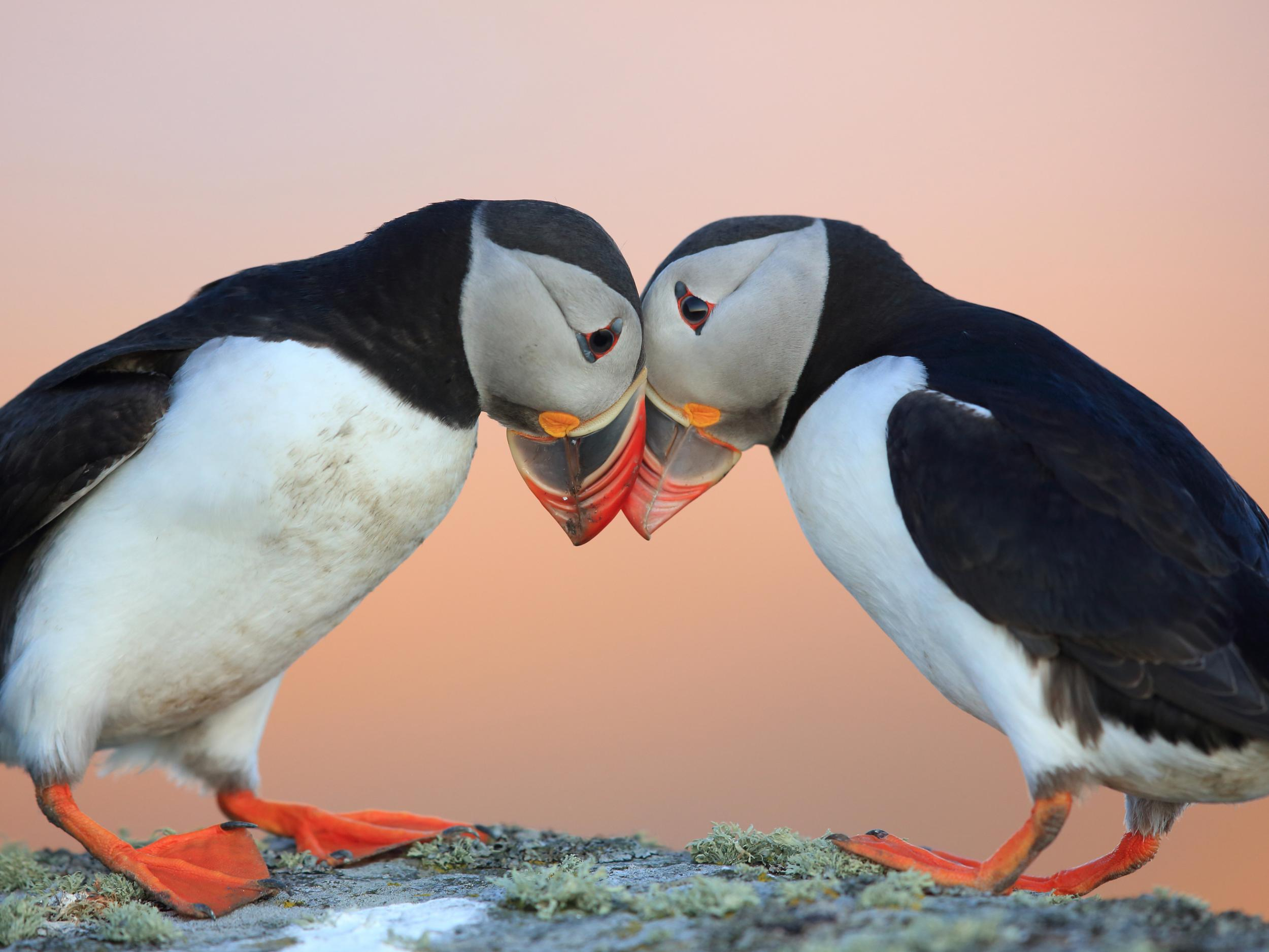 Puffins are declining and climate change could become the largest cause