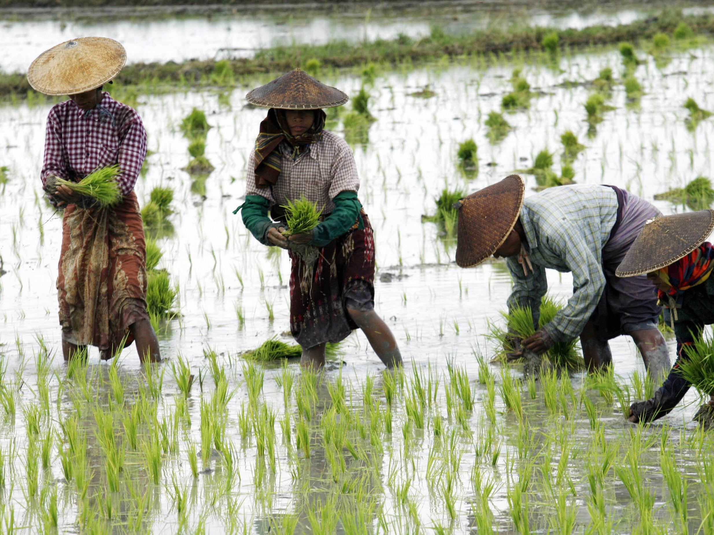 Rice farming up to twice as bad for climate change as previously thought, study reveals