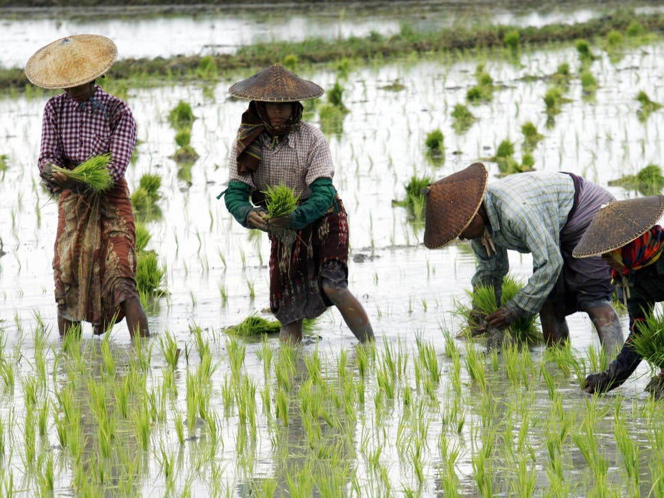 Rice is a vital crop that provides people with more calories in total than any other food