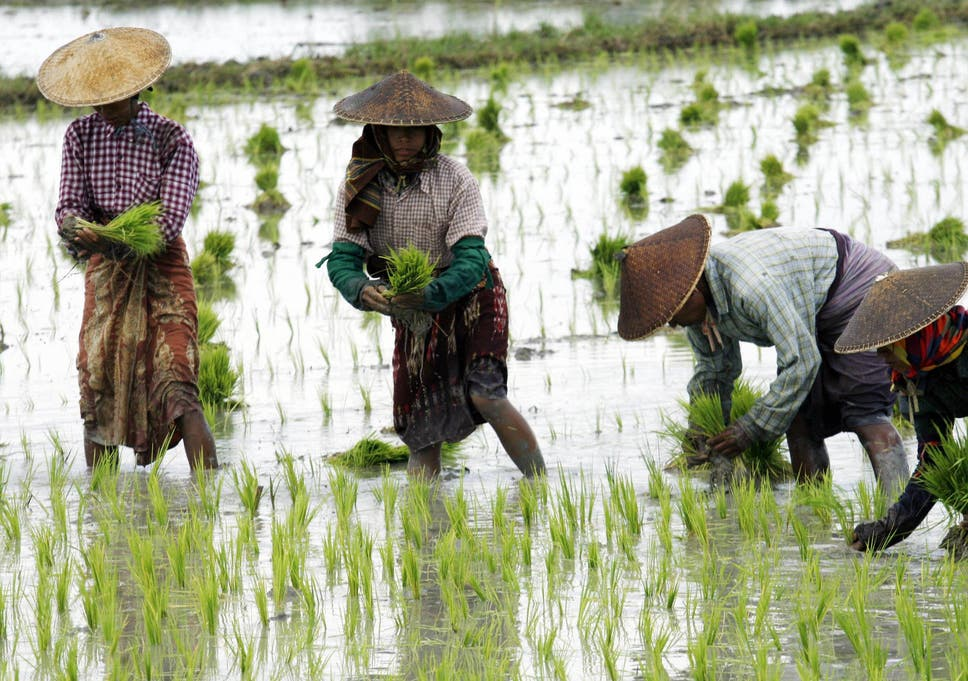 Rice farming up to twice as bad for climate change as previously