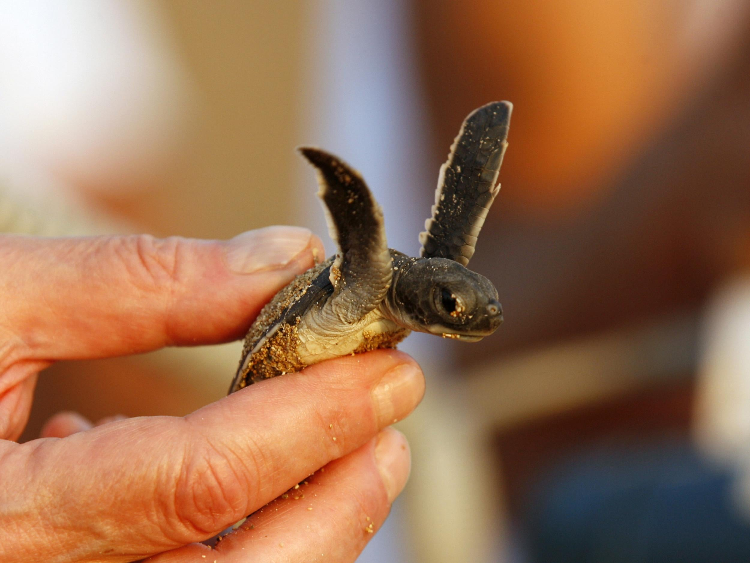 Half of dead baby turtles found by Australian scientists have stomac…