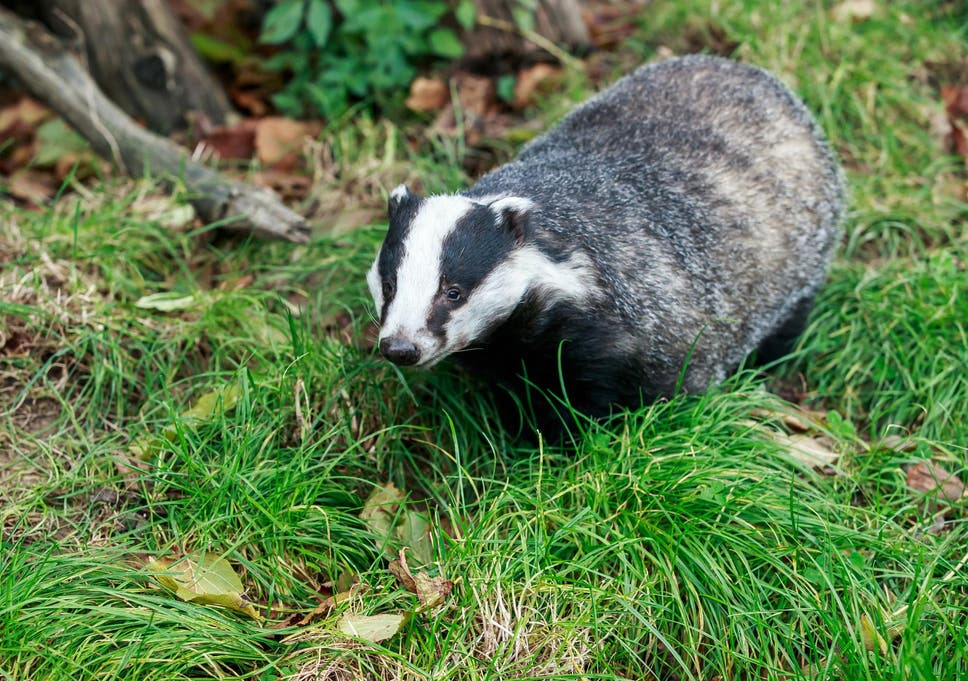 Badger cull expanded to 11 new sites despite cruelty claims