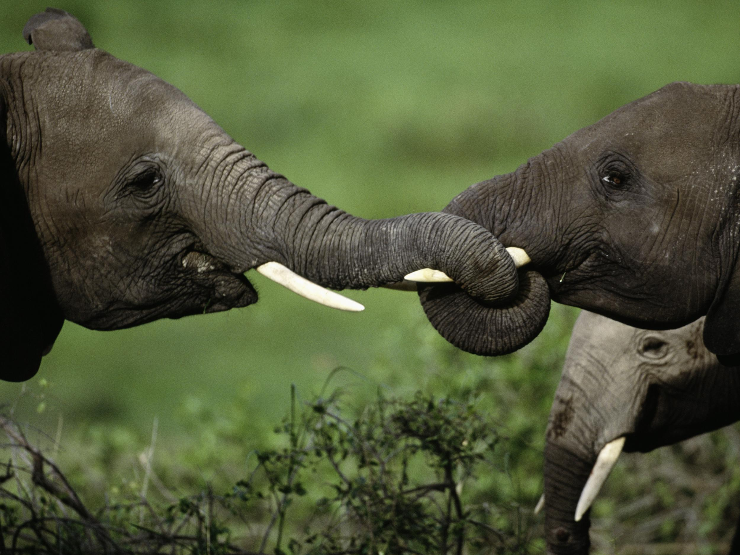 Africa's three biggest elephant poaching cartels exposed using DNA from illegal ivory shipments