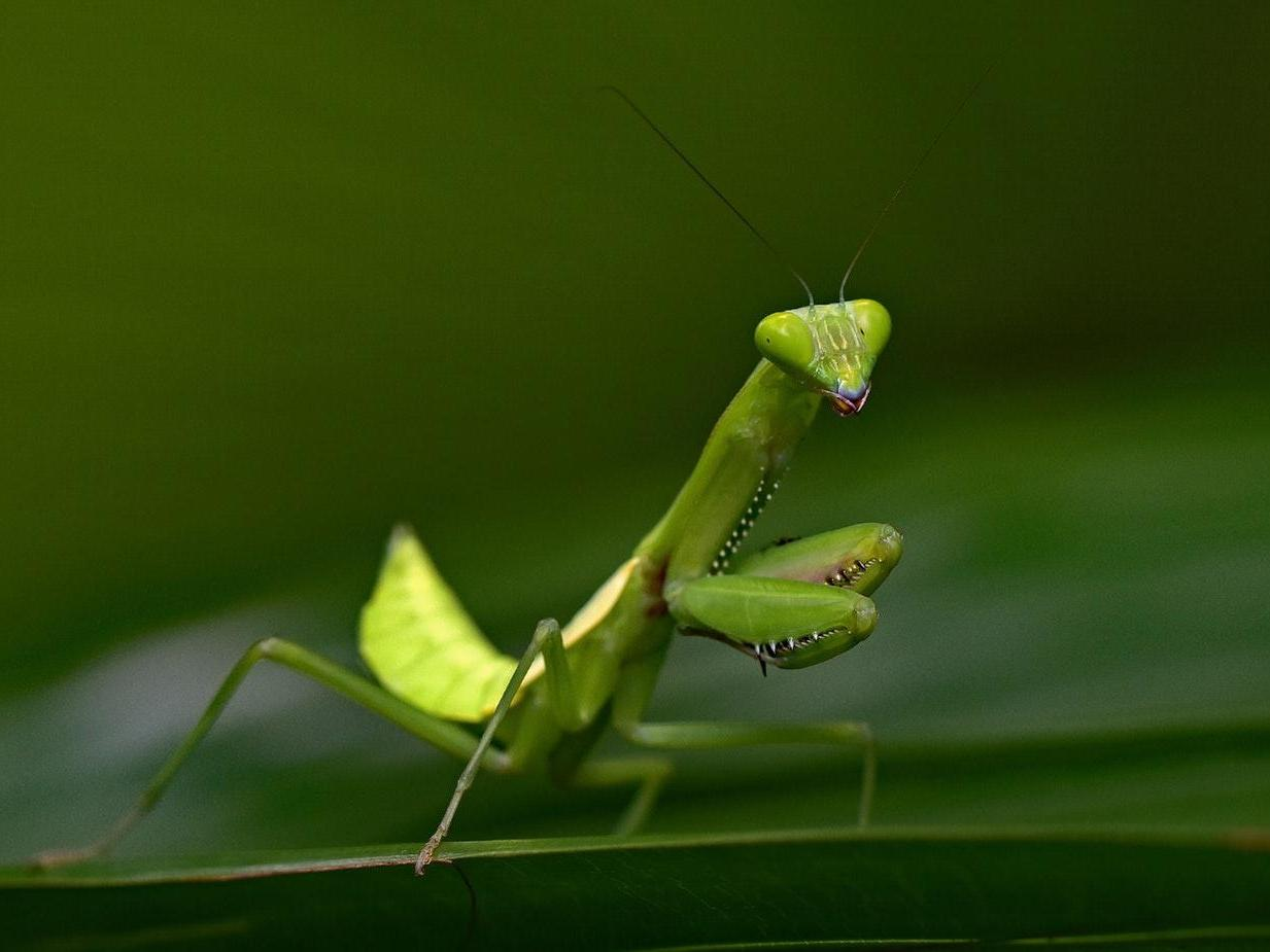 Praying Mantis Seen Hunting For Fish In Wild For First Time Ever The Independent