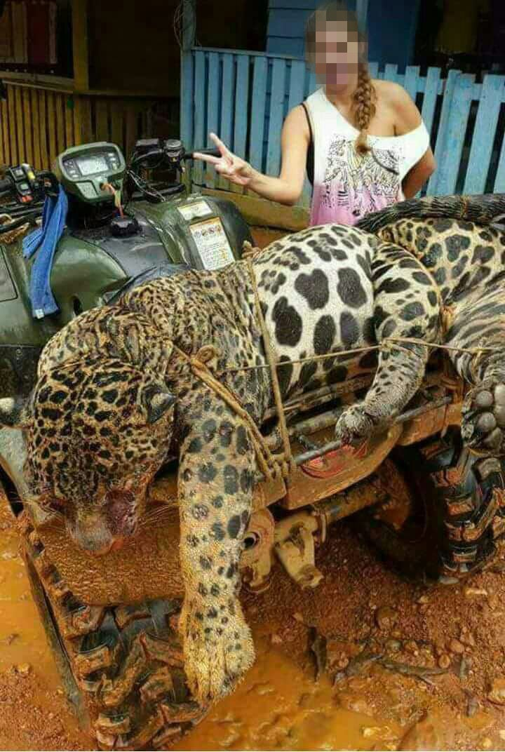 secret gangs boil down forest jaguars for lucrative market in