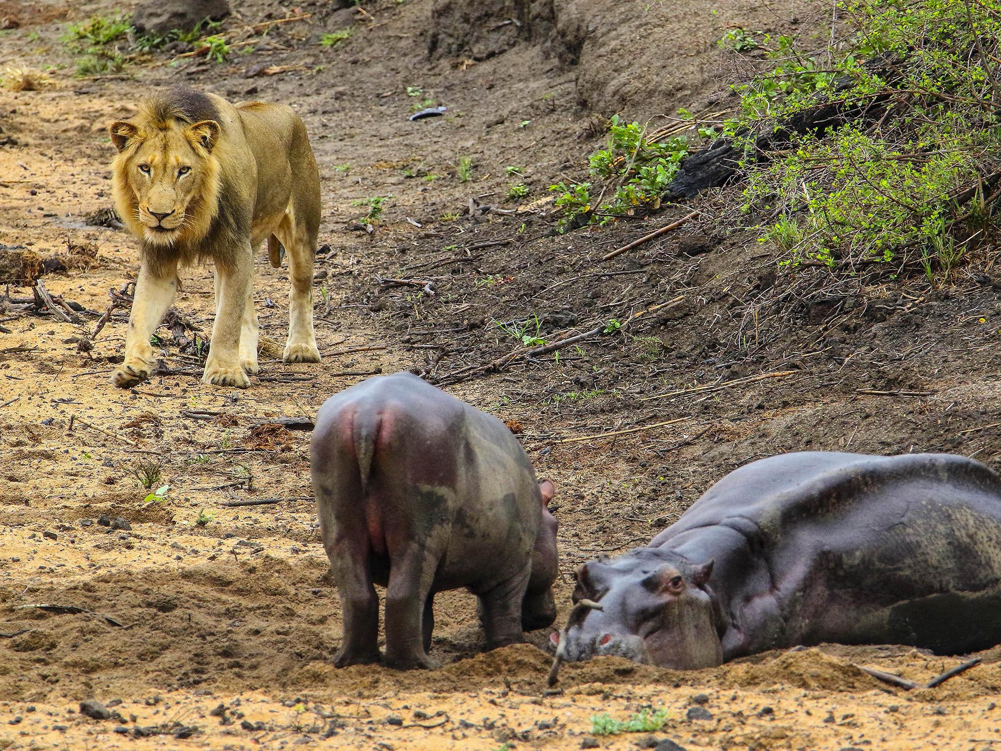 Czech man mauled to death by lion he kept in back garden