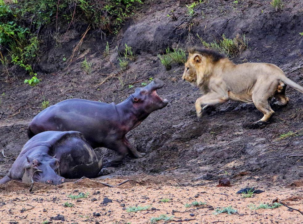 A hippo stuck in the mud and near death is too good an opportunity to miss for a lion