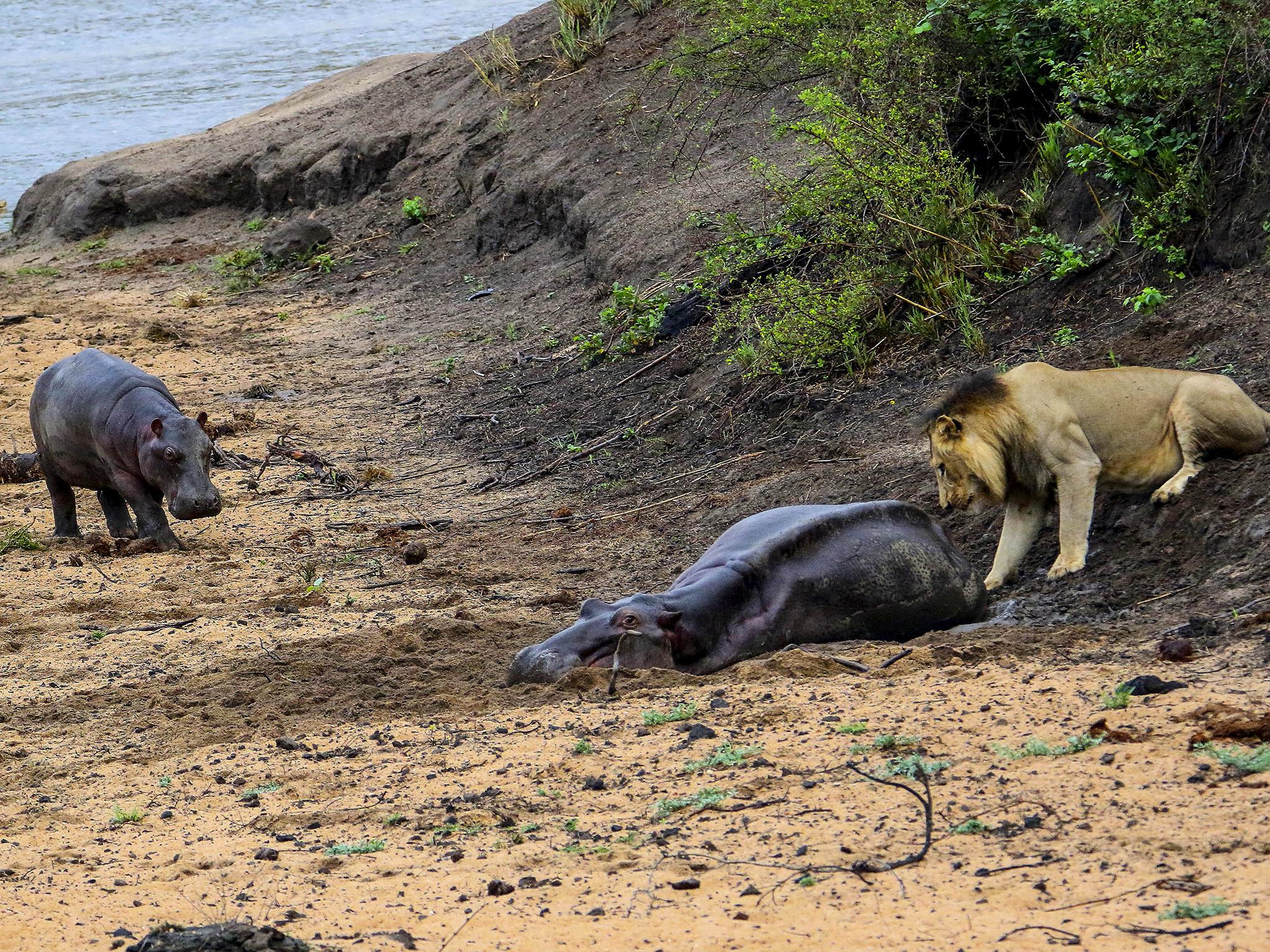Baby hippo attacks hungry lion in attempt to save mother