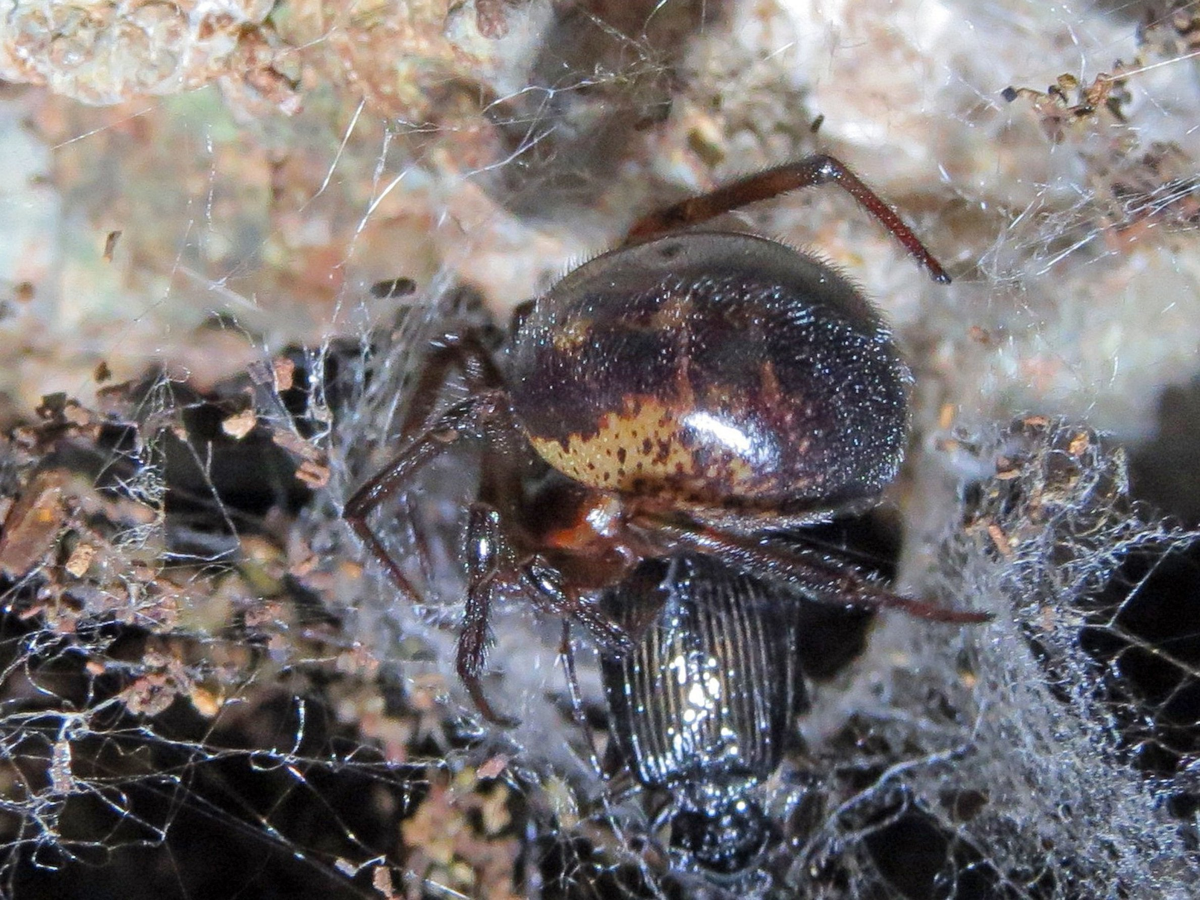 School closures over false widow spider infestation 'a complete overreaction', say scientists