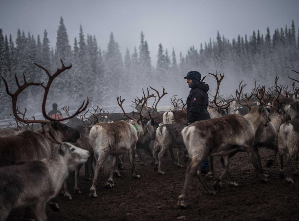 Indigenous Saami reindeer herders in the Arctic are already feeling the pressure of climate change