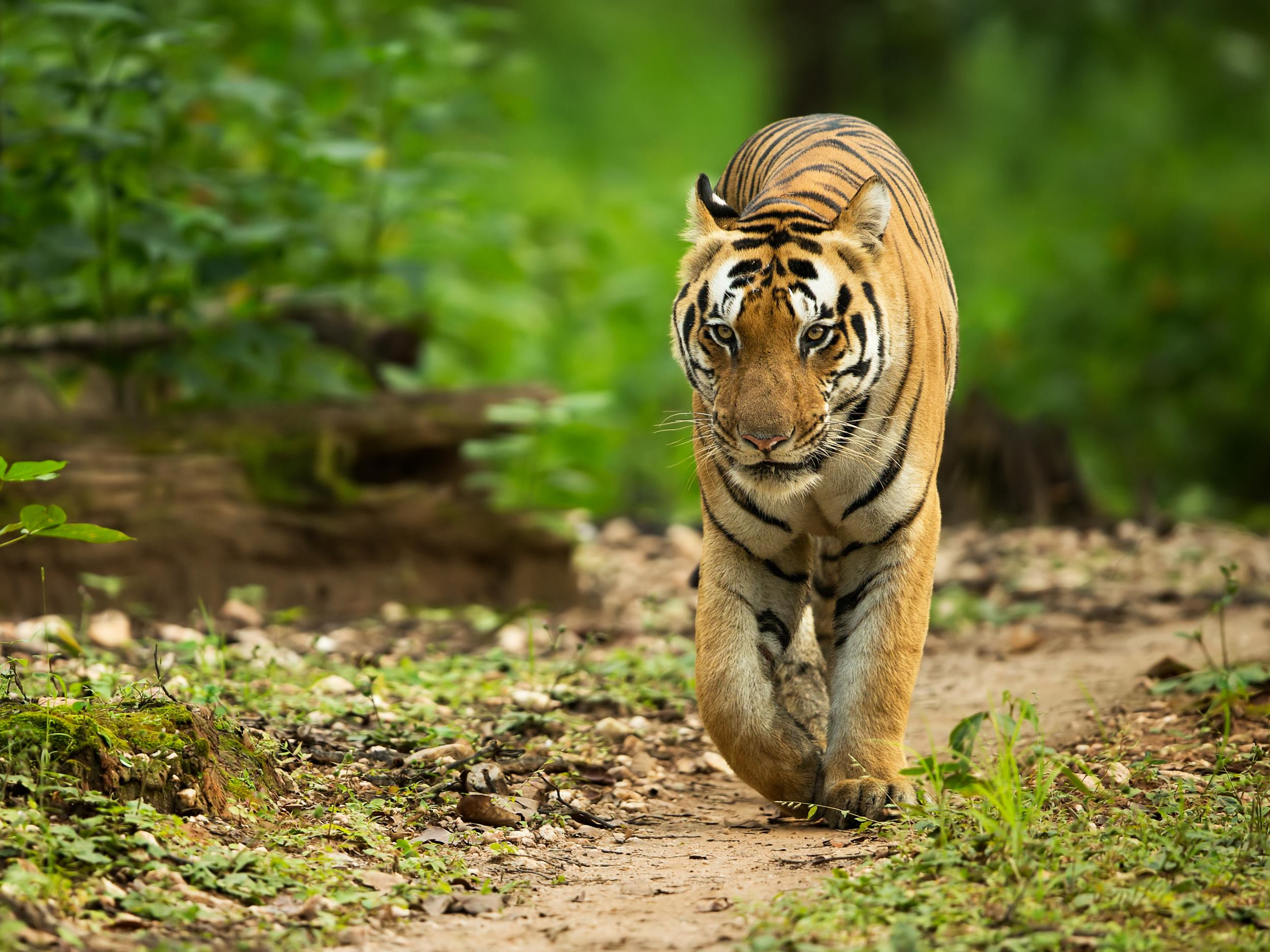 Man-eating tiger hunted by Indian authorities using Calvin Klein
