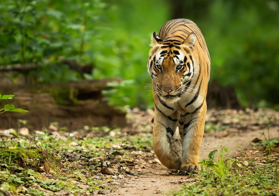 tigress shot dead after killing 13 people in india the independent